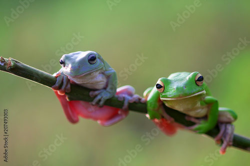 tree frogs, dumpy frogs, white lip frogs
