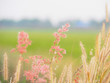 Flower grass Along the way in the summer. It looks bright and beautiful. With soft colors. Feel good and happy.