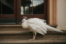 A Beautiful White Peacock Sits Next To The Door At The Entrance Of The Building