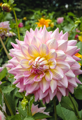 Close up on a single Dahlia flower