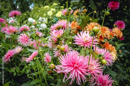 Mixed varities of Dahlia flowers in a garden