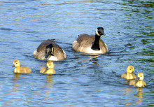 A Family Of Canada Geese With ...
