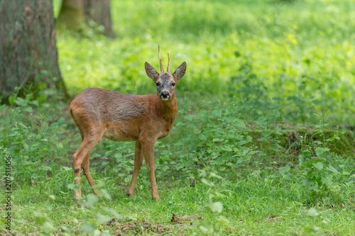 In de dag Ree Chevreuil boisé de profil, brocard, roe deer