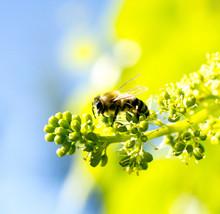 Honey Bee On A Ripening Grape Fruits
