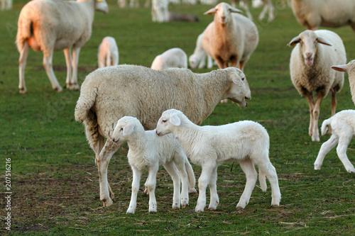 Foto op Canvas Schapen Beautiful lambs and sheeps in the landscape