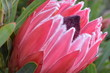 canvas print picture - Colorful pink King Protea in the Botanical Garden in Cape Town in South Africa – the national flower of South Africa