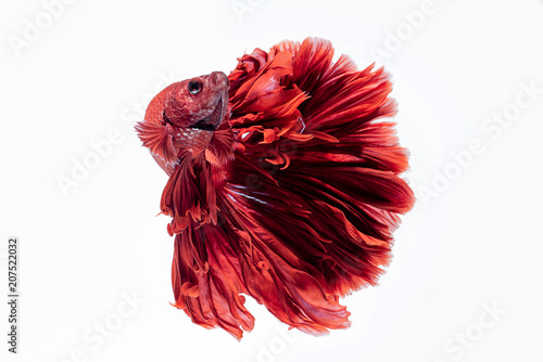 Red siamese fighting fish, betta fish isolated on white background Wallpaper Mural