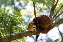 Red Panda, Ailurus Fulgens Sleeping On A Tree Trunk