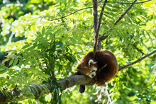 Red Panda, Ailurus Fulgens Sleeping On A Tree Trunk