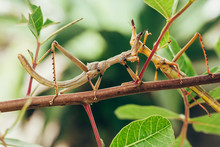 Tropical Stick Insect In Brazi...