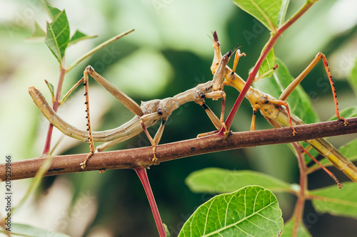 Tropical stick insect in Brazilian garden Tableau sur Toile