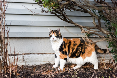 Fotografie, Obraz  Calico cat outside green garden face under bushes, curious hunting eyes on porch