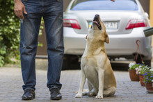 Big Grown Light-yellow Dog Labrador Sitting In Paved Yard At Man Legs And Looking Up At Owner On Blurred Rear View Car And Green Plants Background. Friendship, Care, Love And Faithfulness Concept.