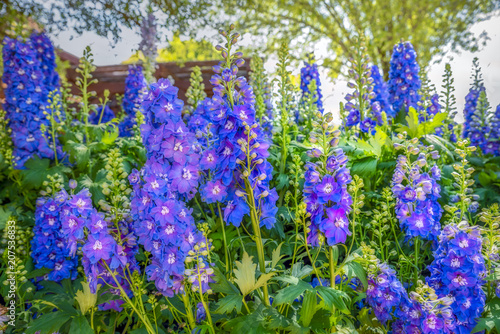 Texas Hill Country Delphiniums Fotobehang