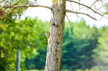 Small Chipmunk On Tree Trunk D...