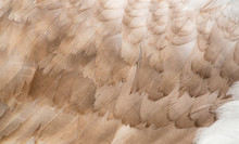 Feathers Of Swan. Close-up Pho...