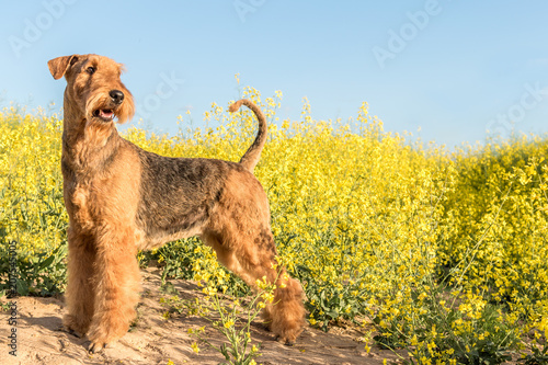 dog breed airedale terrier on a background of yellow flowers and blue sky Wallpaper Mural