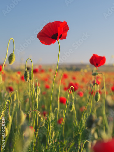 Foto op Plexiglas Panoramafoto s Red poppy flower portrait in meadow.