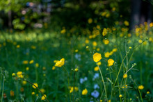 Yellow Flowers In Field With Green Background