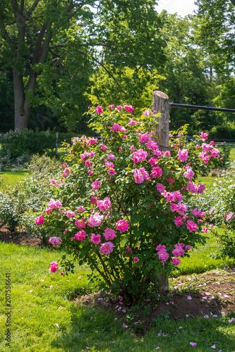 Slika na platnu Bright pink rose bush