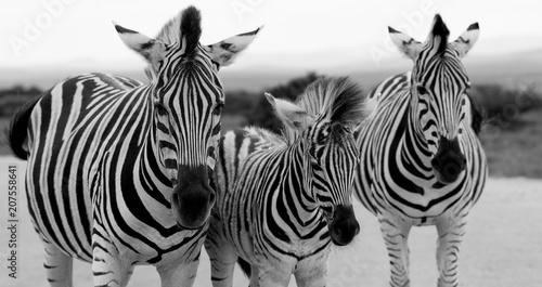 In de dag Zebra Zebras