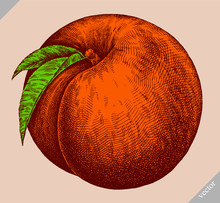Engrave Isolated Peach Hand Drawn Graphic Illustration