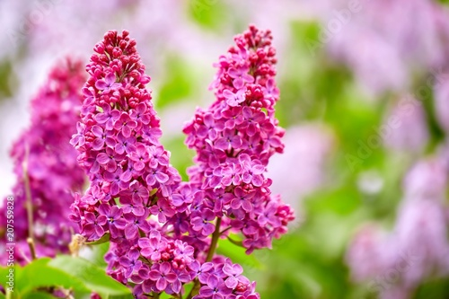 Foto op Canvas Lilac Close up view of vibrant juicy lilac flowers in spring