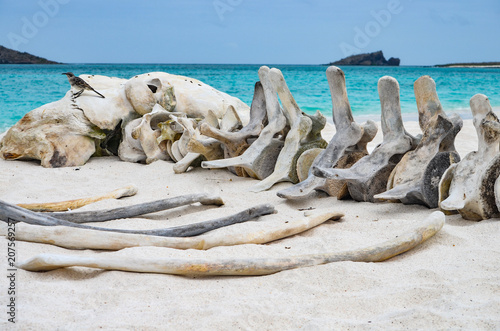 фотография  The skeleton of a whale lie on the beach at Gardner Bay, Isla Española, in the Galapagos Islands