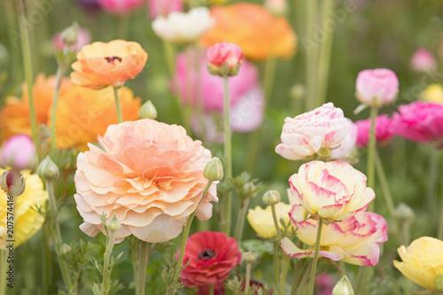 Fototapeta Photograph of a field of Ranunculus flowers