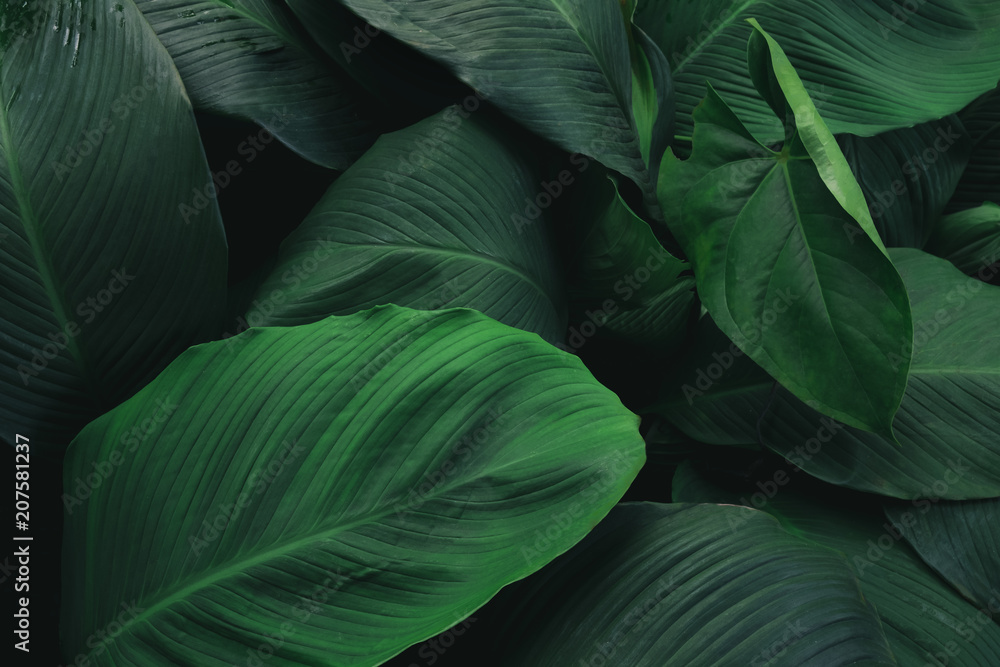 Fototapeta Large foliage of tropical leaf with dark green texture,  abstract nature background.