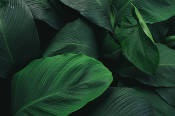 Large foliage of tropical leaf with dark green texture,  abstract nature back...