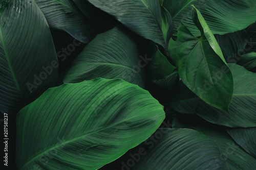 Fotobehang Natuur Large foliage of tropical leaf with dark green texture, abstract nature background.