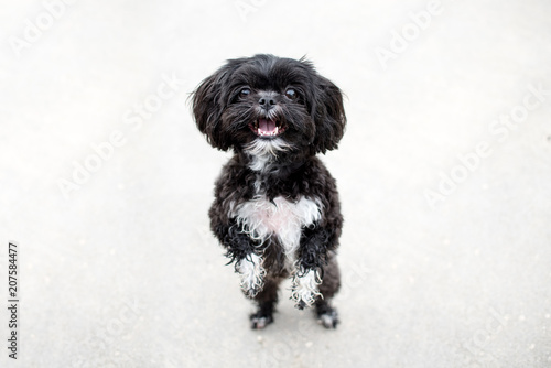 Adorable Miniature Shih Tzu Puppy Dog White And Black With Short