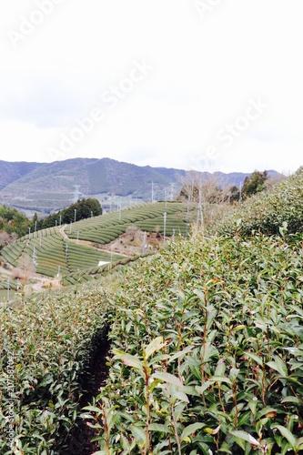 Fotobehang Wit Tea Fields in Japan