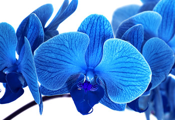 Panel Szklany Storczyki beautiful blue Orchid without background, bright blue Orchid flowers on a white background.