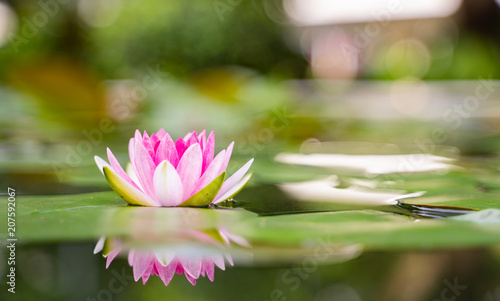 Foto op Canvas Lotusbloem beautiful lotus flower on the water after rain in garden.
