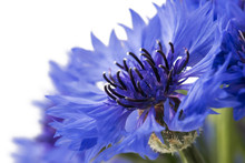 Bouquet Of Blue Cornflowers Is...