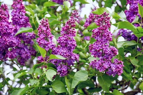 Fotobehang Lilac Close up view of vibrant juicy lilac flowers in spring