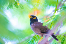 Common Myna Outdoors