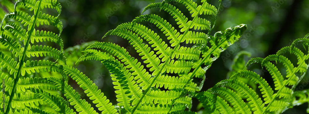 Fototapety, obrazy: banner spring bright green fern background