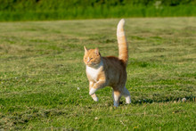 Ginger And White Cat Running A...