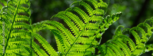 Obraz na plátně banner spring bright green fern background