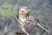 Close Up Of Spotted Seal Face ...