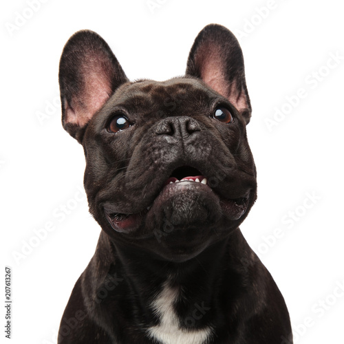 close up of surprised french bulldog looking up to side