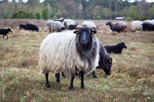 Moorland sheep Heidschnucke in Lüneburg Heath near Undeloh and Wilsede, Germany