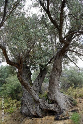 Fotobehang Olijfboom Three olive trees