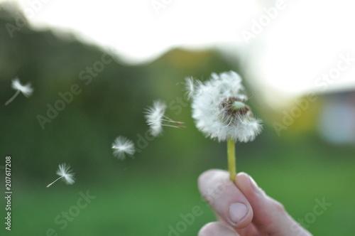 Tuinposter Paardebloem Dandelion
