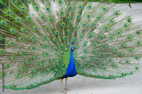 The peacock opened his beatiful colourful feathers