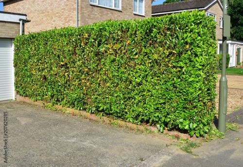 Cuadros en Lienzo Trimmed Hedgerow in the UK in summer.