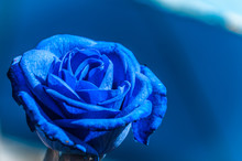 Beautiful Blue Rose On Blue Background